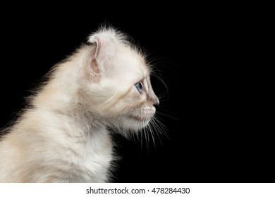 Closeup American Curl White Kitten with Twisted Ears and Blue eyes Looking Curious Isolated Black Background, Profile view