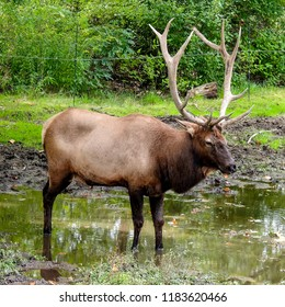 Closeup of American Elk Stag - September 17, 2018.  American Elk Stag was taken while visiting Van Suen Zoo in Paramus, New Jersey on September 17, 2018.