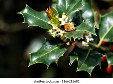 A closeup of an American Holly tree in bloom.  A honey bee is at work pollinating the flowers that will become red berries in winter.