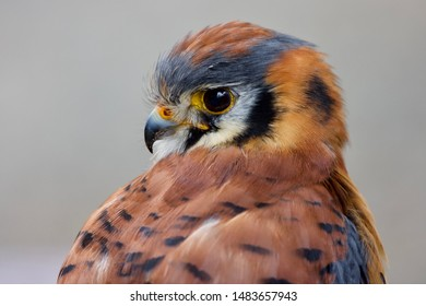 Close-up of American Kestrel looking over his shoulder, showing bright eyes and colorful plumage, The Raptors, Duncan, BC.
