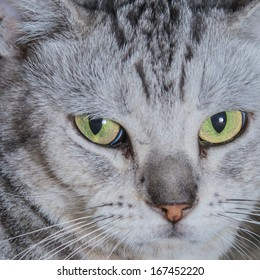 Close-up of American Shorthair cat.