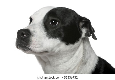 Close-up of American Staffordshire Terrier mixed with a Border Collie, 9 months old, in front of white background