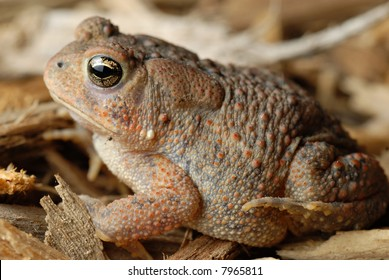 Close-up of an American Toad