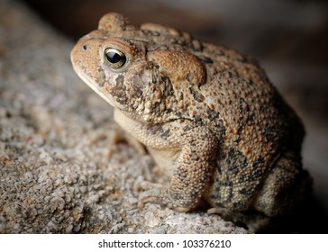 Close-up of American Toad on rock (Bufo americanus)
