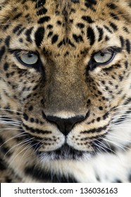 closeup of an Amur leopard