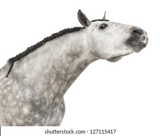 Close-up of an Andalusian head, 7 years old, stretching its neck, also known as the Pure Spanish Horse or PRE against white background
