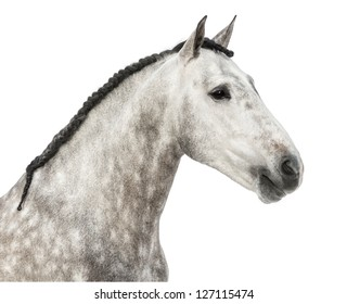 Close-up of an Andalusian head, 7 years old, also known as the Pure Spanish Horse or PRE against white background