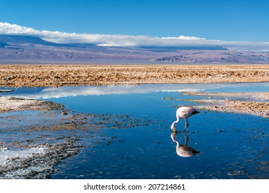Closeup of an Andean Flamingo in Lake Chaxa near San Pedro de Atacama, Chile