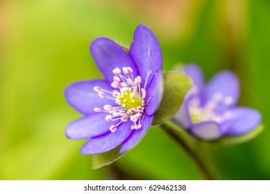 Closeup of Anemone hepatica (Hepatica nobilis)  in forest with green leaves and another Anemone hepatica on background