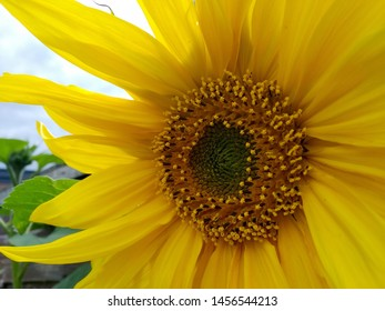 Closeup angled perspective of a yellow sunflower