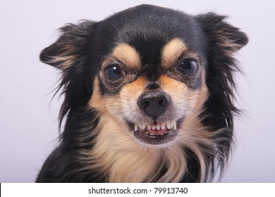 Close-up of angry Chihuahua growling