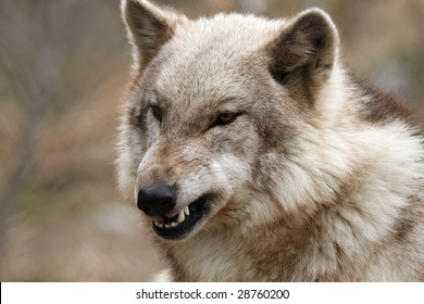 Closeup of an angry Timber Wolf against a beautiful blurred background.