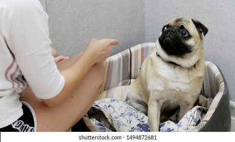 Close-up of angry woman wagging a finger and scolding her pug dog, punish a dog
