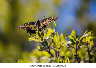 A close-up of an anise swallowtail butterfly sitting on a plant