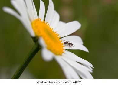closeup of ant on chrysanthemum flower