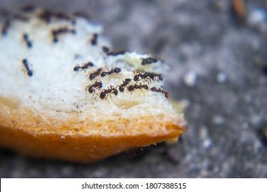 closeup ants eating fresh baked bread