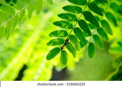 Close-up of ants on an acacia leaf.