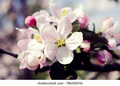 Closeup of Apple Blossoms in Spring