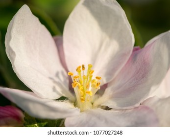 A closeup of an apple tree blossom (Malus domestica) in spring