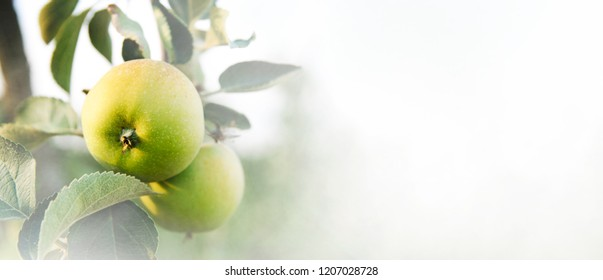 Closeup of apple tree with growing fresh green organic fruits on branches. Fruit orchard farm background design.