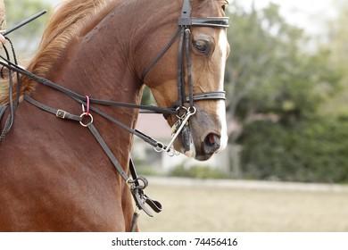 Close-up of an Arabian horse running