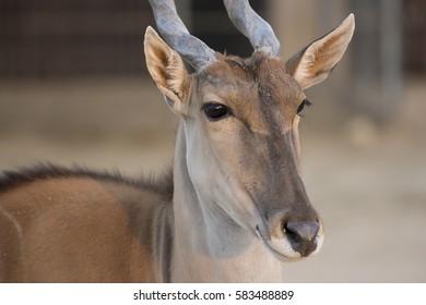 closeup of Arabic deer face in zoo