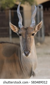 closeup of Arabic deer with long horns in zoo