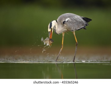 Close-up Ardea cinerea,  Grey Heron  in shallow water with succesful catch. Fish in beak, splashing water. Ground level photography, abstract green background. Moravia wetlands, Europe.