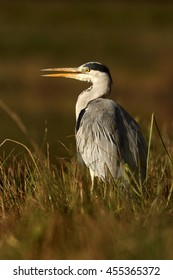 Close-up Ardea cinerea,  Grey Heron  in shallow water, standing among orange reeds. Vertical, ground level photography, abstract background. Autumn, Moravia wetlands, Europe.