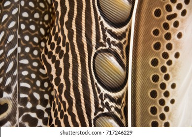 close-up Argusianus argus feathers. feathers background texture