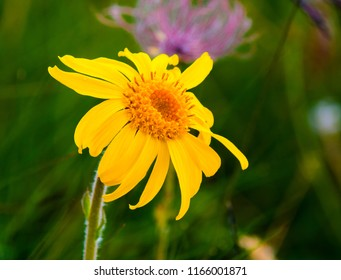 closeup of Arnica Montana flower,used as an herbal medicine.