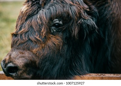Closeup artistic portrait of primal ancient beast muzzle. Furry and funny mammoth hairy face. Prehistoric endangered species in zoo. Wild danger angry mammal animal. Mongolian yak in wild terrain