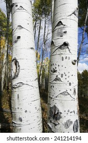 close-up of aspen tree bark