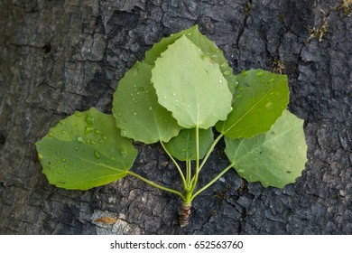 Close-up of aspen's (also known as common aspen, Eurasian aspen, European aspen or quaking aspen (Populus tremula)) wet leaves on top of a tree trunk.