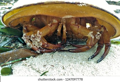Close-up of Atlantic horseshoe crab (Limulus polyphemus), prehistoric arthropod, found on sandy beach in Yucatan, Mexico. Horseshoe crabs are harvested for blood that have healing properties.