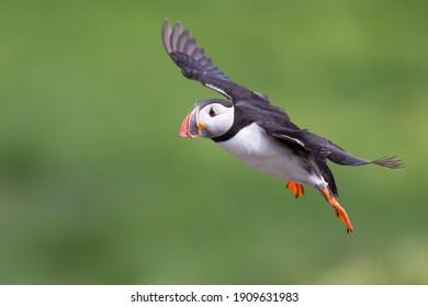 Closeup of an Atlantic puffin in flight