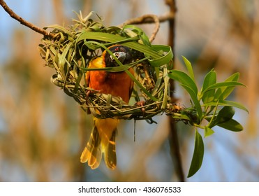 Close-up, attractive Black-headed Weaver, Ploceus cucullatus, male starting to build its nest by weaving grasses against orange background. Late evening colorful light. Uganda, Kibale forest.