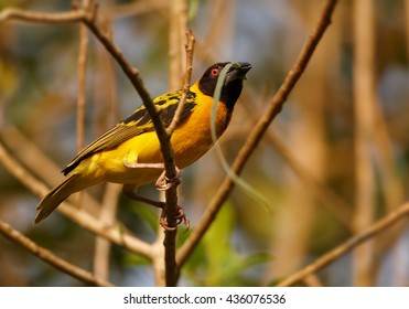 Close-up, attractive Black-headed Weaver, Ploceus cucullatus, male starting to build its nest by weaving grasses, on twig with fiber in beak against colorful orange background. Uganda, Kibale forest.