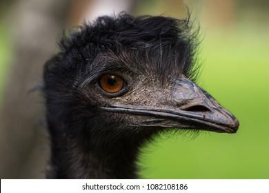 Close-up of Australian Emu (Dromaius novaehollandiae), view of an Emu's head.