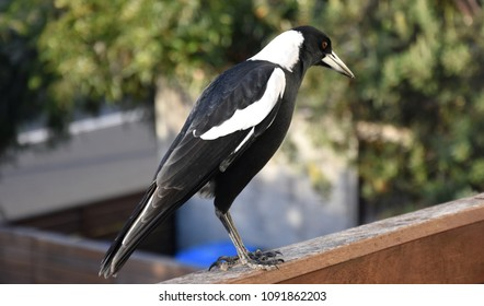 Closeup of Australian magpie bird in black and white plumage standing on a fence. The australian magpie gymnorhina tibicen is a medium sized black and white passerine bird.