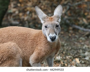 Closeup of an Australian Red Kangaroo (Macropus rufus) facing the camera