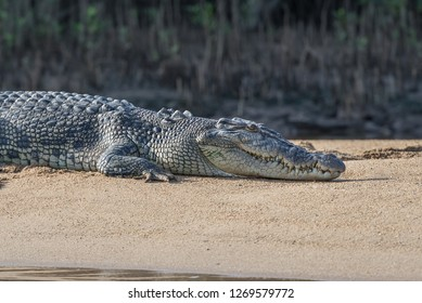 Close-up of an Australian saltwater crocodile at Daintree River, Queensland