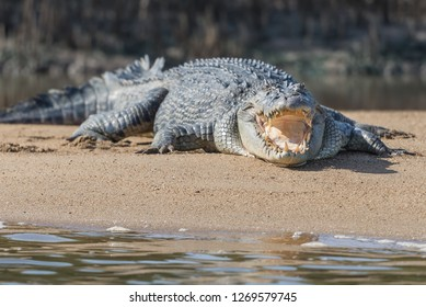 Close-up of an Australian saltwater crocodile with an open mouth at Daintree River, Queensland -