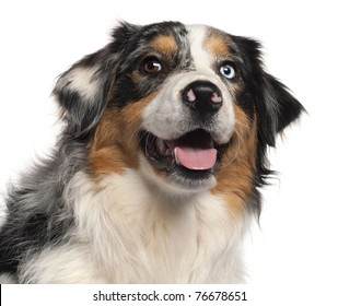 Close-up of Australian Shepherd dog, 1 year old, in front of white background