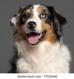 Close-up of Australian Shepherd in front of grey background