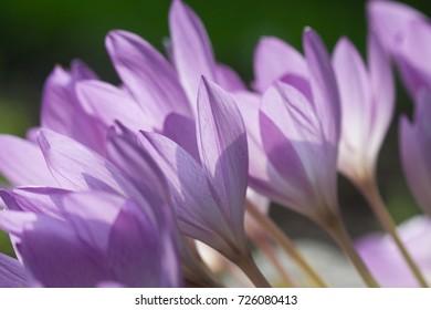closeup of autumn crocus
