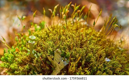 Close-up of autumn moss with sporophytes and lichens. Polytrichum commune. Common haircap moss