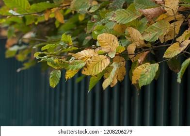 closeup of autumnal hornbeam leaves in hedge
