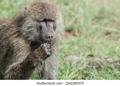 Closeup of baboon eating grass with copy space