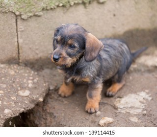 Closeup of baby Dachshund, brown color, shallow depth of field